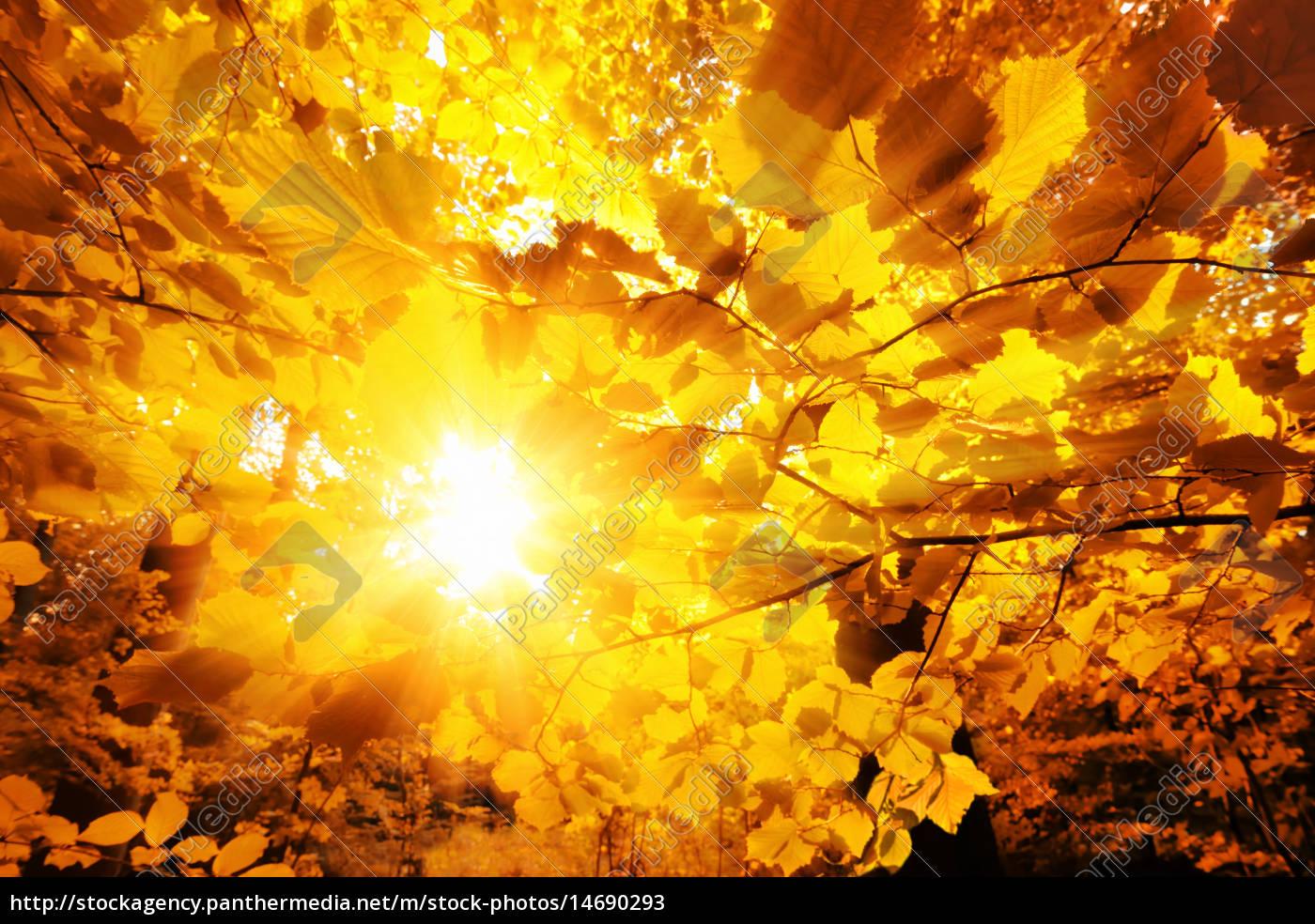 słońce, świeci, przez, jesienne, liście - 14690293