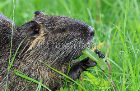 beaver rat wasserratte