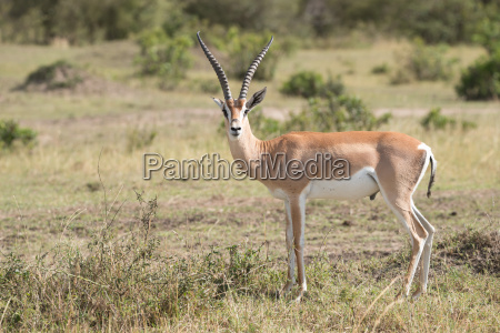grants gazelle stands staring at the