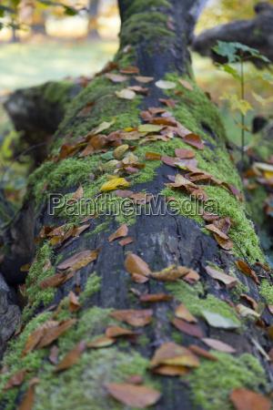 pien drzewa z mchem i lisci
