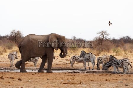 afryka slon przyrody wildniss