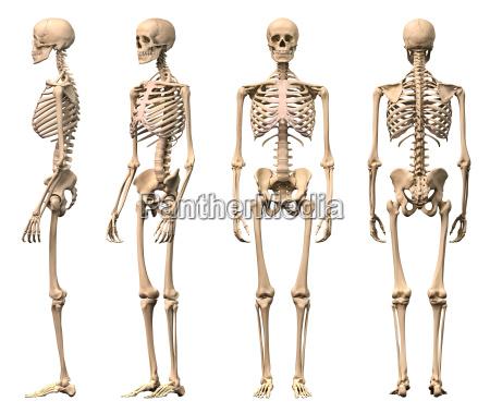 mezczyzna ludzki szkielet cztery widoki z