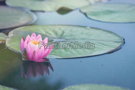 lilia morska w stawie