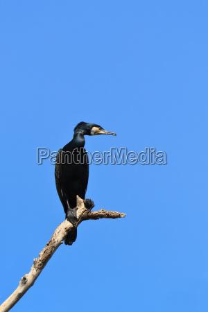 drzewo zwierze ptak kormoran przyrody delta