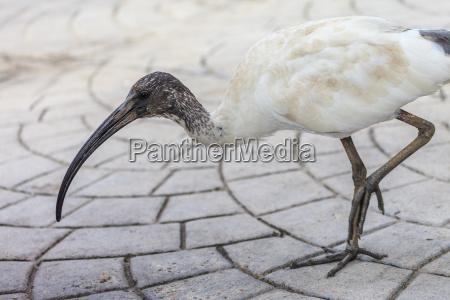 australijska ibis