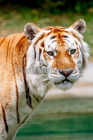 kot kot drapiezny tygrys bengalski