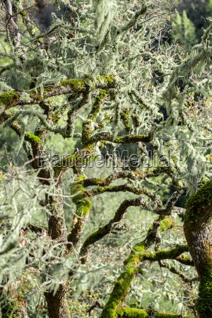 kalifornia mech california puszcza las lesnictwo