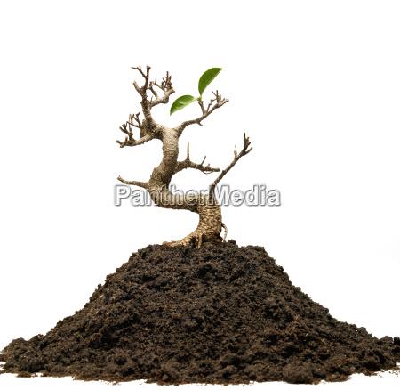 drzewo survivor z dwoma liscmi zyje