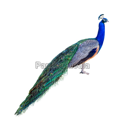 peacock profile cutout