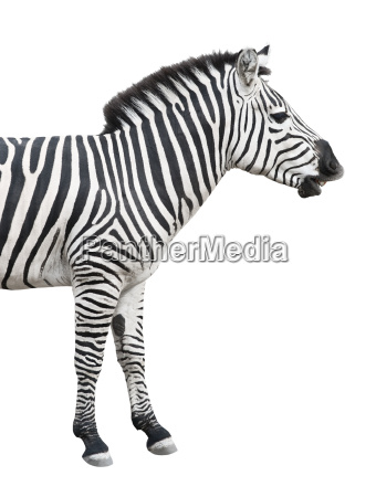 zebra talks isolated over white background
