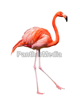 red caribbean flamingo dancing cutout