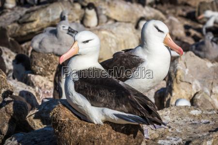 para czarno browed albatross gniazdowania w