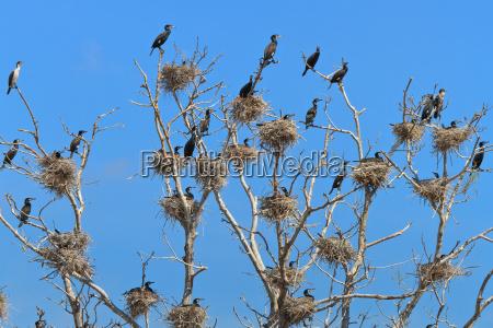 zwierze ptak kormoran gniazdo kolonia przyrody