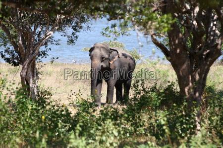 zwierze ssak slon safari natura