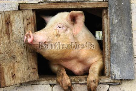 zwierze stodola hodowla rasy swinka niesmialy