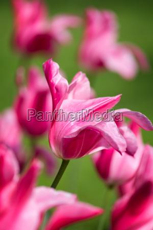 piekny fioletowy tulipan wiosna