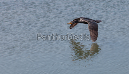 ptak kormoran suesswasser jezioro inland aqua