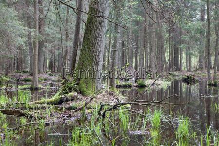 old oak tree in swamp area