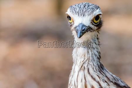 ptak brush stone curlew