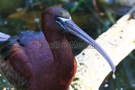 zwierze ptak glossy ibis