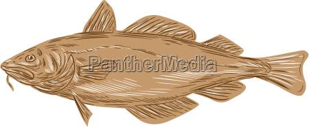 atlantic cod codling ryba rysunek