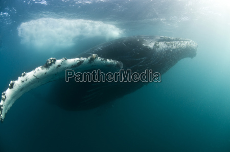 humpback wielorybow megaptera novaeangliae migracji z