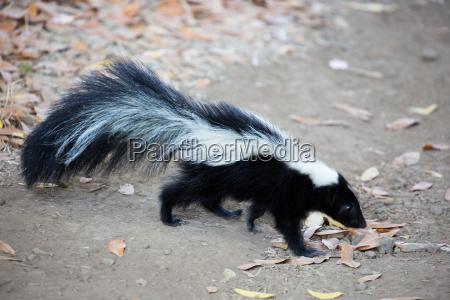 ssak spray skunk paski wypasac stinktier