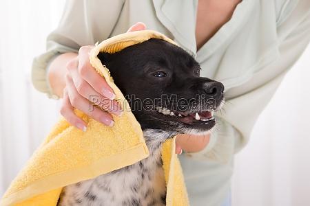 kobieta suszenia jej psa z recznikiem