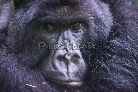 mountain gorilla gorilla beringei beringei park