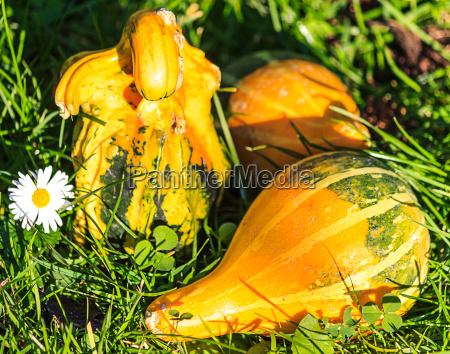 zielony halloween dynia stokrotka sezon koniczyny