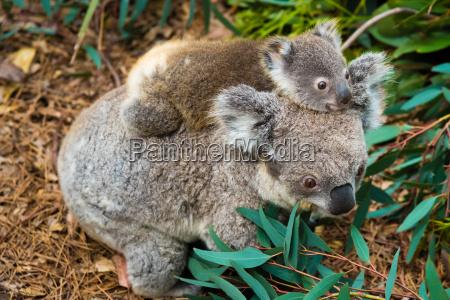 australijski mis koala rodzime zwierze z