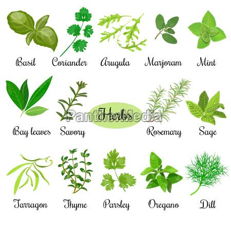 duzy zestaw swiezych ziol kulinarnych