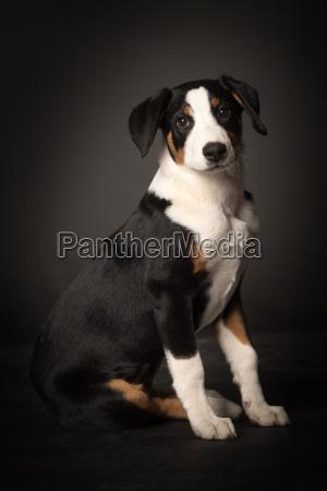 pies psy szczeniak szczenia szczenieta szczeniaki
