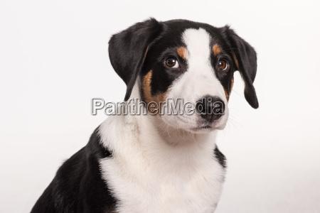 pies psy szczenia szczenieta szczeniaki uczen