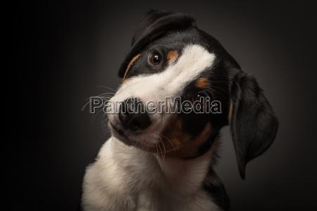 appenzell sennenhund w trybie portretowym