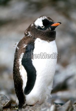 jazda podrozowanie zwierze ptak pingwin na