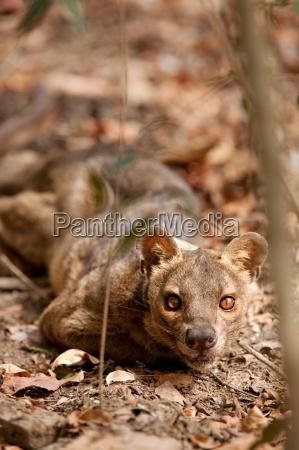 a fossa on the jungle floor