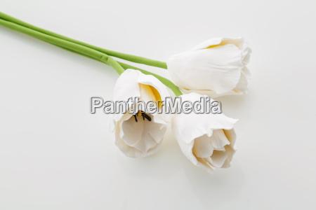 piekne biale kwiaty tulipanow