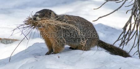 nager gryzon nosorozec wiewiorka snieg trawnik