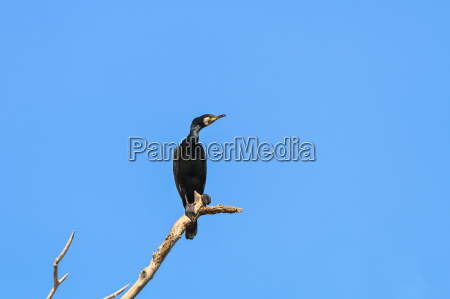 niebieski zwierze ptak kormoran przyrody delta
