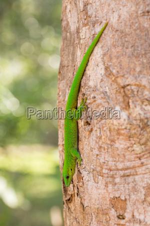 phelsuma madagascariensis day gecko madagaskar