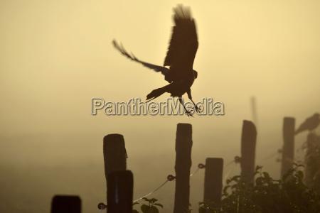 germany upper bavaria raven landing on