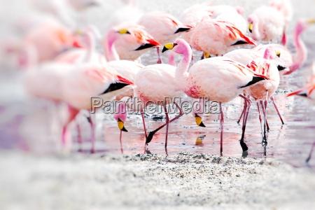 flamingi na jezioro w andach w