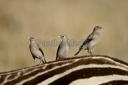 jazda podrozowanie ssak afryka kenia ptaki