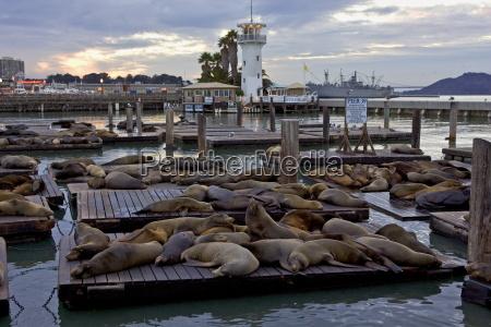 california sea lions spoczywaja na plywajacych