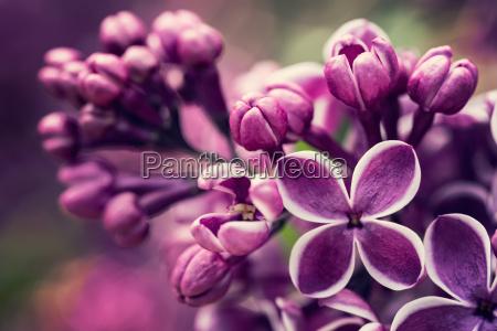 purpurowe kwiaty bez kwiatow wiosna blossom