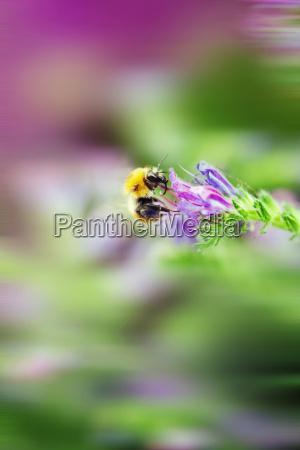 wlochy bumblebee zapyla kwiat echium makro