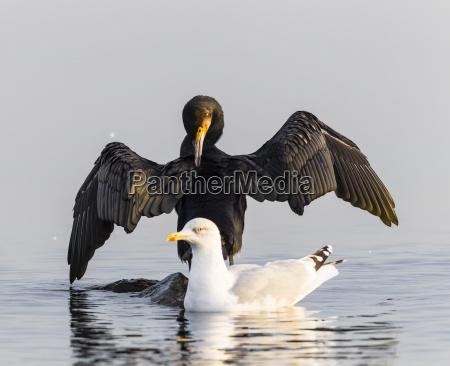 niemcy timmendorfer strand kormoran i mewa