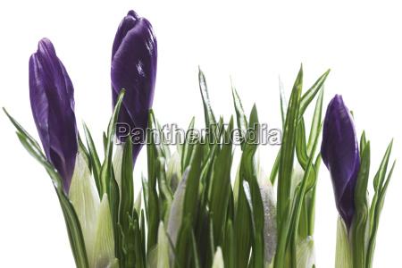 lisc wiosna fioletowy purpura wzrostu nikt