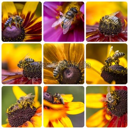 kolaz z western honey bee images